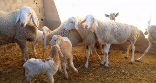 صورة الثروة الحيوانية في الجزائر , اهتام الجزاريين بتروبيه الحيوانات