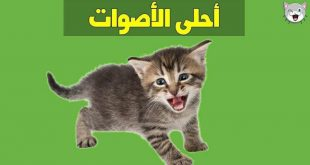 صورة اصوات قطط مضحكة , اصوات جميله للقطط ممكن وضعها نغمه