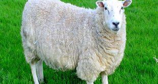 صورة تفسير الاحلام خروف , رايت في المنام خروف ما تفسيره