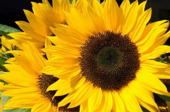 صورة صور عباد الشمس , اجمل خلفيات لعباد الشمس