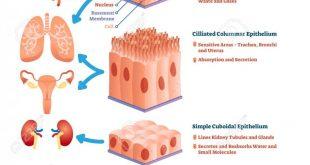 صورة معنى epithelial cells , تعريف المصطلحات في تحليل البول