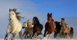 صور صورة الحصان العربي , مميزات الخيل العربي الاصيل بالصور
