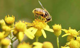 صورة فوائد حبوب لقاح النحل , تعرفى على فؤائدها مع الجهاز المناعي