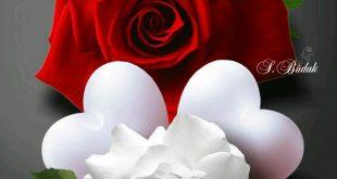 صورة اجمل صور ورد , الورود الطبيعية وجمالها للخلفيات