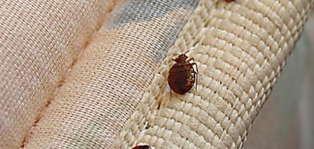 صورة كيف اتخلص من بق الفراش , علاج حشرات الفراش