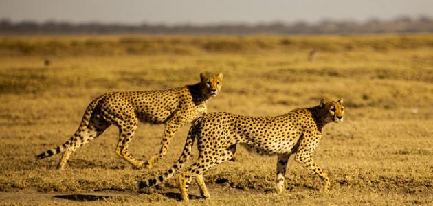 صورة ماذا تعرف عن الحيوانات البرية , معلومات عن الحيوانات البرية 793