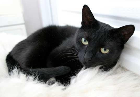 صورة رايت قطة سوداء في المنام , تفسير القطة السوداء